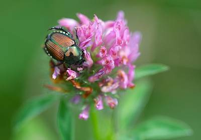 Photograph - Scarab On Clover by Tracy Male