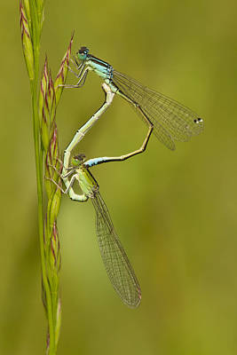 Two Tailed Photograph - Scarce Blue-tailed Damselfly Pair by Marcel Klootwijk