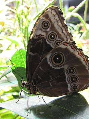 Animals Royalty-Free and Rights-Managed Images - Scarce Morpho by Jennifer Wheatley Wolf