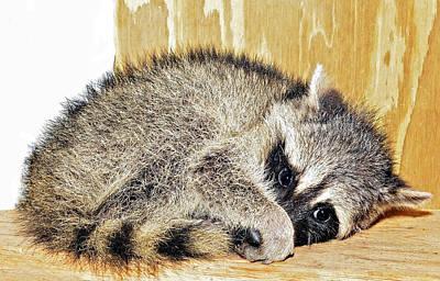 Scared Raccoon Art Print by Susan Leggett