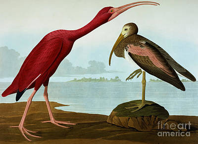 Ibis Painting - Scarlet Ibis by John James Audubon