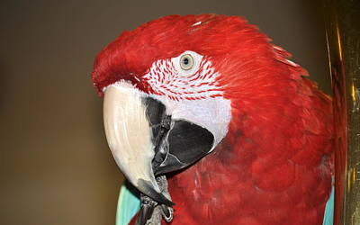 Science Collection Rights Managed Images - Scarlet Macaw Royalty-Free Image by AJ  Schibig