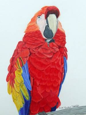 Macaw Drawing - Scarlet Macaw by Anita Putman