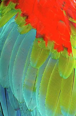 Scarlet Macaw Photograph - Scarlet Macaw (ara Macao by Andres Morya Hinojosa