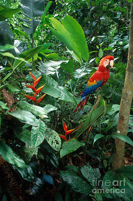 Macaw Photograph - Scarlet Macaw by Art Wolfe