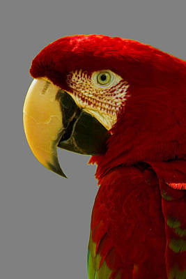 Photograph - Scarlet Macaw by Bill Barber