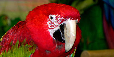 Photograph - Scarlet Macaw by Bill Swartwout