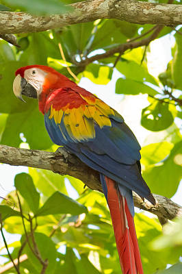 Scarlet Macaw Photograph - Scarlet Macaw Costa Rica by Natural Focal Point Photography