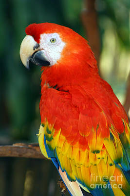 Photograph - Scarlet Macaw by Heidi Hermes