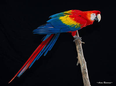 Photograph - Scarlet Macaw On Black by Avian Resources