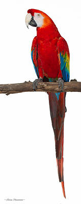 Photograph - Scarlet Macaw On White by Avian Resources