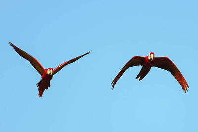 Scarlet Macaw Photograph - Scarlet Macaw Pair Flying Osa Peninsula Costa Rica by Natural Focal Point Photography