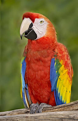 Photograph - Scarlet Macaw Parrot by Susan Candelario