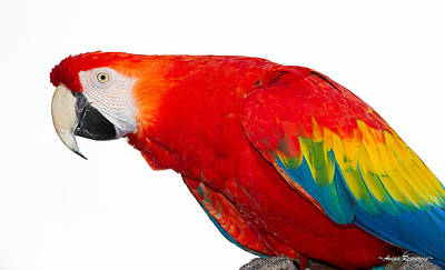 Photograph - Scarlet Macaw Portrait On White by Avian Resources