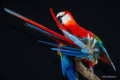 Photograph - Scarlet Macaw Preening Tail by Avian Resources
