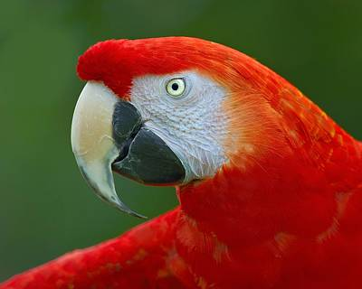 Rare Bird Photograph - Scarlet Macaw by Tony Beck