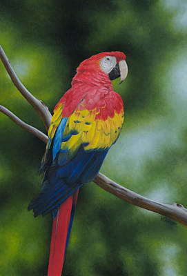 Painting - Scarlet Macaw by Victoria Oldham