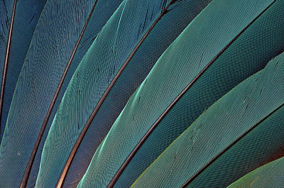 Scarlet Macaw Photograph - Scarlet Macaw Wing Feathers by Darrell Gulin