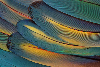 Scarlet Macaw Photograph - Scarlet Macaw Wing Feathers Fan Design by Darrell Gulin