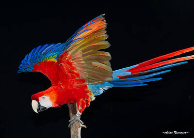 Photograph - Scarlet Macaw Wings 2 by Avian Resources