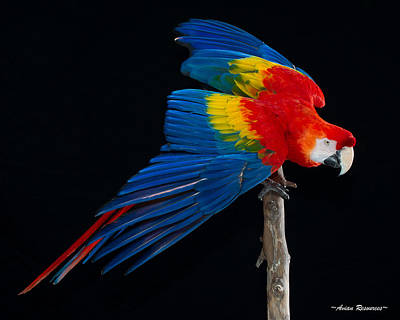 Photograph - Scarlet Macaw Wings by Avian Resources