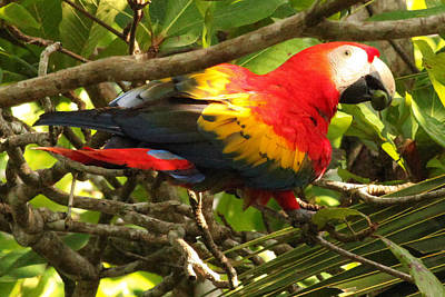 Scarlet Macaw Photograph - Scarlet Macaw With Almond Osa Peninsula Costa Rica by Natural Focal Point Photography