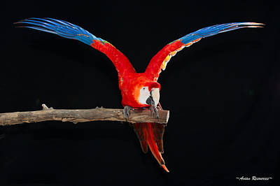 Photograph - Scarlet Macaw Y by Avian Resources