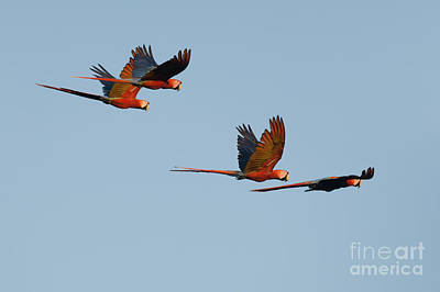Photograph - Scarlet Macaws by Dan Suzio