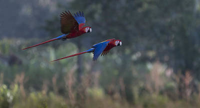 Osa Wall Art - Photograph - Scarlet Macaws by John Shaw