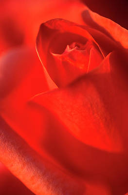 Rosaceae Photograph - Scarlet Rose Abstract by Nigel Downer