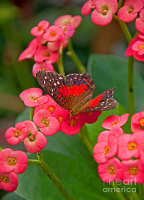 Photograph - Scarlet Swallowtail Butterfly On Crown Of Thorns Flowers by Valerie Garner