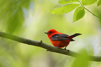 Photograph - Scarlet Tanager by Bruce J Robinson