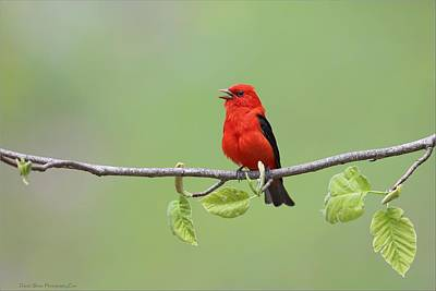 Photograph - Scarlet Tanager by Daniel Behm