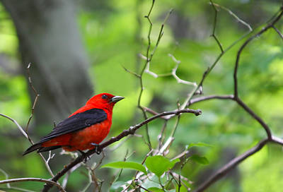 Hollywood Style - Scarlet Tanager by Melinda Fawver