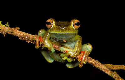 Amphibia Photograph - Scarlet-webbed Tree Frog by JP Lawrence