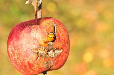 Photograph - Scarred Apple  by Puzzles Shum