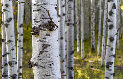 Photograph - Scarred Aspens by Willie Harper