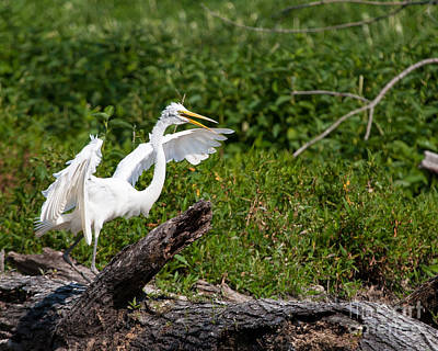 Photograph - Scary Egret by Dale Nelson
