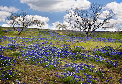 Mesquite Tree Photograph - Scattered Bluebonnets by David and Carol Kelly