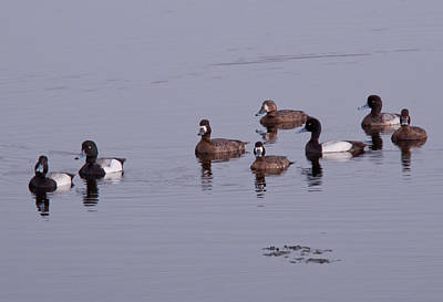 Photograph - Scaup Ducks - Merritt Island Florida by John Black