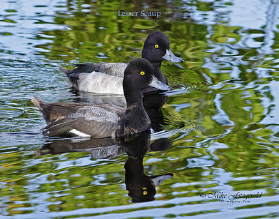 Photograph - Scaup Pair by Mike Fitzgerald