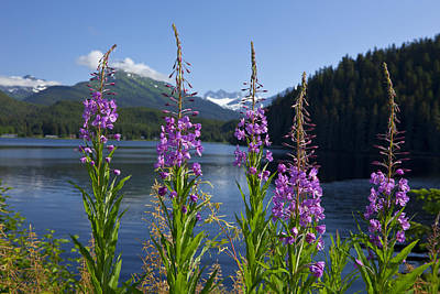 Wild Horse Paintings - Scenic View Of Auke Lake And Fireweed by John Hyde