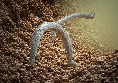 Human Worms Photograph - Schistosome Fluke Worms, Artwork by Science Photo Library
