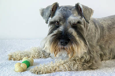 Animal Photograph - Schnauzer Dog With Bone by Celso Diniz