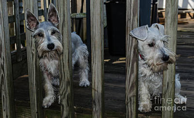 Photograph - Schnauzer Puppies by Donna Brown