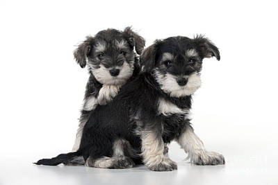Schnauzer Puppy Dogs Art Print by John Daniels