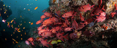 Of Sea Creatures Photograph - School Of Blotcheye Soldierfish by Panoramic Images