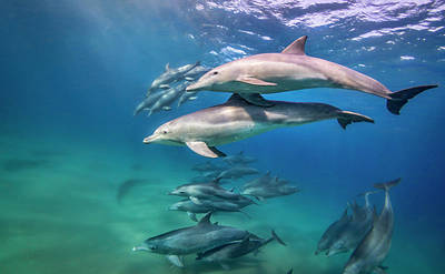 School Of Bottlenose Dolphins Tursiops Art Print by Peter Pinnock