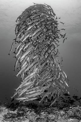 Photograph - School Of Chevron Barracuda Sphyraena by Alessandro Cere