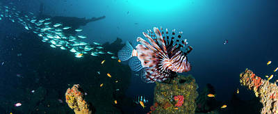Of Sea Creatures Photograph - School Of Devil Firefish Pterois Miles by Panoramic Images